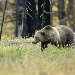 Wyoming Hunting Guide Slain by Grizzlies