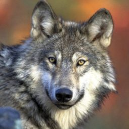 Gray Wolves Risk Losing Federal Protection Under Republican Bill